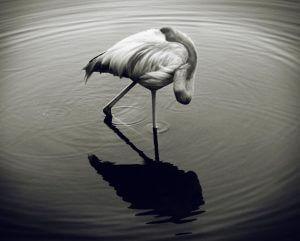 Птах у воді. Фото у воді