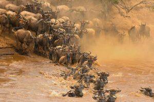 Антилопи Гну. Фото Євгенія Рафаловського