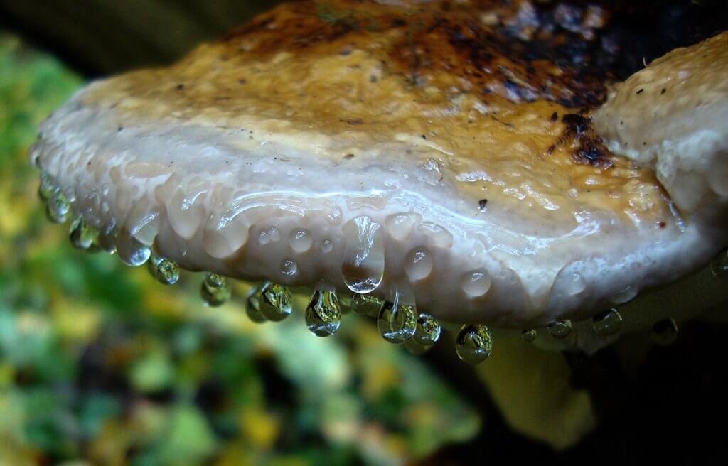 Сльози гриба