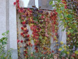 Фотосесія осіннього винограду
