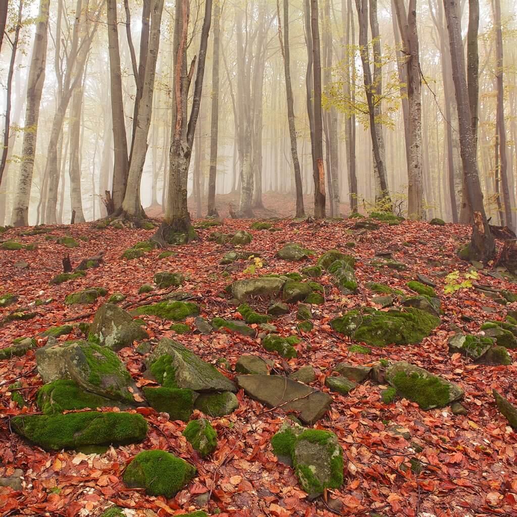 У буковому лісі