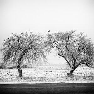Дерева в снігу. Дмитро Сіданченко