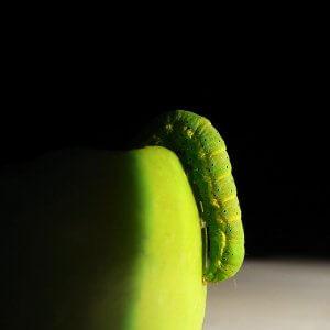 Художня фотографія. Зелена гусінь